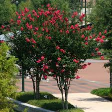 arapaho crape myrtles for sale fast growing trees