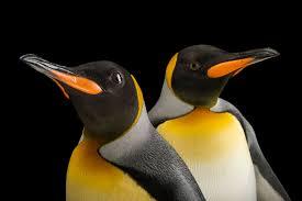 12 penguin portraits show personality