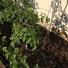 Mulching Vegetable Garden by Shredded Wheat Straw For Vegetable Garden Mulch Garden Snips