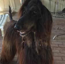 afghan hound arizona adoptable dogs afghan hound rescue
