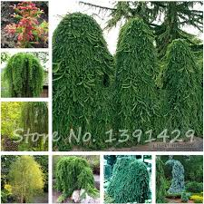 aliexpress buy climbing tree spruce seeds tropical