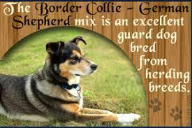australian shepherd and border collie mix characteristics of the australian shepherd border collie mix