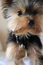 best 10 yorkshire terriers ideas on pinterest yorkshire terrier