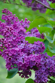 Flowers Information - lilac information from flowers org uk