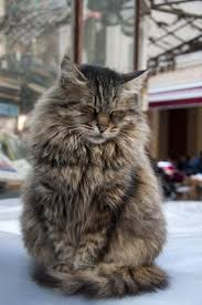 Sleepy Cat Meme - 10 reasons why you should never own maine coon cats maine coon