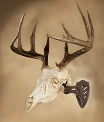 deer skull taxidermy ebay