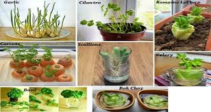 10 Vegetables U0026 Herbs You by 10 Vegetables You Can Buy Once And Regrow Forever U2013 Mystical Raven