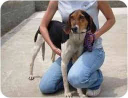 bluetick coonhound west virginia cassidy adopted dog radford va bluetick coonhound treeing
