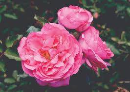 Very Fragrant Plants - stop and smell the u2026 our list of the most fragrant roses star