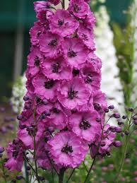 delphinium flower delphinium pink punch bluestone perennials