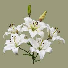 white lillies white lilies illustration photograph by mcilroy