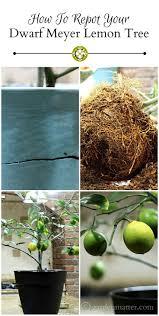 best 25 meyer lemon tree ideas on pinterest meyer lemon recipes