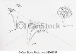 stock illustrations of pencil drawings of seed heads cow parsley