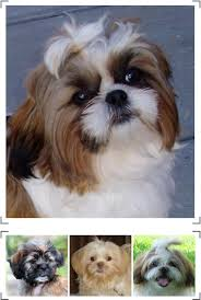 shih tzu with curly hair shih tzu breeds from pet health 101