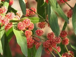 australian native plant society acacia leprosa u0027scarlet blaze u0027 wikipedia