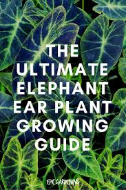 Tropical Potted Plants Outdoor - best 25 elephant ear plant ideas on pinterest elephant plant