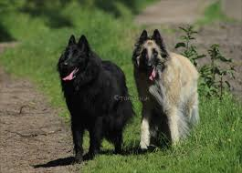 belgian shepherd breeds 389 best groenendaeler images on pinterest belgian shepherd