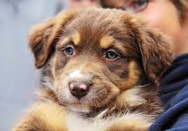 south dakota australian shepherd australian shepherd puppies for sale akc puppyfinder