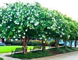 small ornamental trees small landscape trees garden evergreen