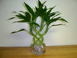 lucky bamboo woven u2013 gallery northwest orchids