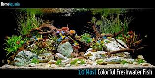10 most colorful freshwater fish home aquaria