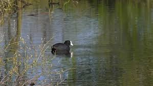 beautiful coots on stowe pool water natural backgrounds