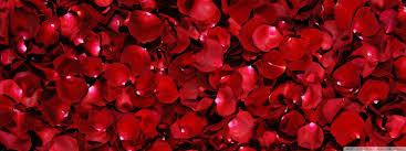 Rose Petals Red Rose Petals 4k Hd Desktop Wallpaper For 4k Ultra Hd Tv