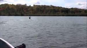 moose swimming across lake nosbonsing walleye u0026 muskie fishing