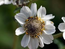 sneezewort achillea ptarmica flowers naturegate
