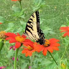 sunflower seeds for butterflies