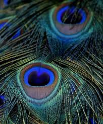 the colours in the peacock tail are some of my favorites