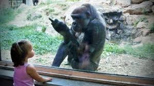 Funny Gorilla Memes - gorillas pranking humans hd funny pets videos pinterest