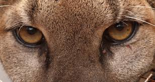 mountain lion eyes how pumas municate through scent marking within