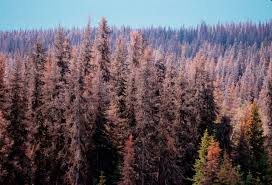 mountain pine beetles mar global trust