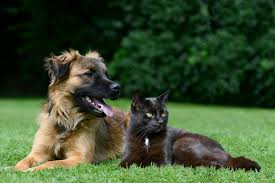 belgian sheepdog allergies vinceq author at the vet is in
