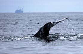 arabian sea humpback whales one of only four populations still