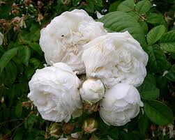 richard beales roses climbing rose