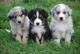 australian shepherd york australian shepherd puppies and shedding learn it all here