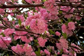 Trees With Pink Flowers Flowering Trees In Texas An Overview U2013 Lee Ann Torrans Gardening