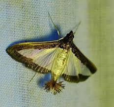 moth featherdusters wired