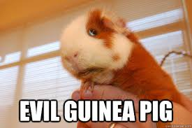 Shaved Guinea Pig Meme - images of funny guinea pigs impremedia net