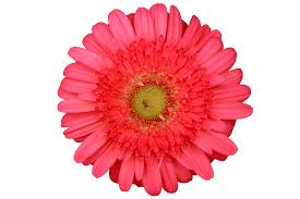 free flower cut out images and stock photos freeimages com