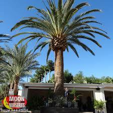 pineapple palm palm tree palm paradise nursery