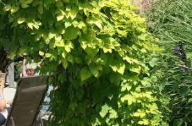 ornamental hop