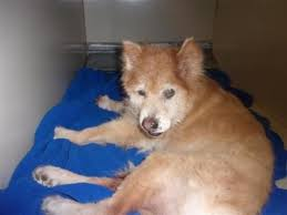 afghan hound rescue north carolina dogs for adoption chow chow in carthage north carolina petcurious