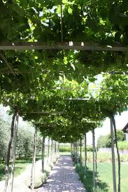 pinterest garden ideas grape trellis photograph grapevine
