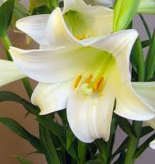 White Lily Flower What Flower Represents Easter The Right Flowers