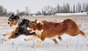 australian shepherd top speed australian shepherd dog breed information and images k9rl