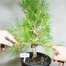 pre bonsai tree japanese black pine 1024 ebay