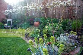 North Facing Backyard Gap Gardens Pleached Amelanchier Lamarckii Growing In A North